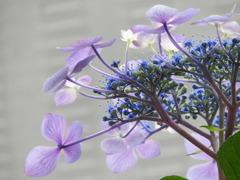 豊島園・紫陽花18