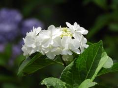 豊島園・額紫陽花3
