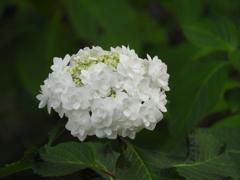豊島園・額紫陽花14