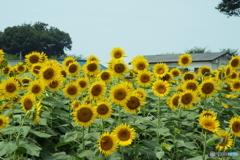 清瀬ヒマワリ畑17