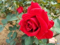 秋薔薇13
