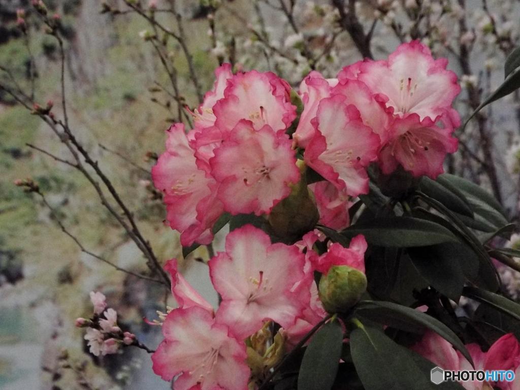 石楠花 (しゃくなげ)2
