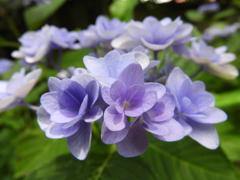 豊島園・額紫陽花5