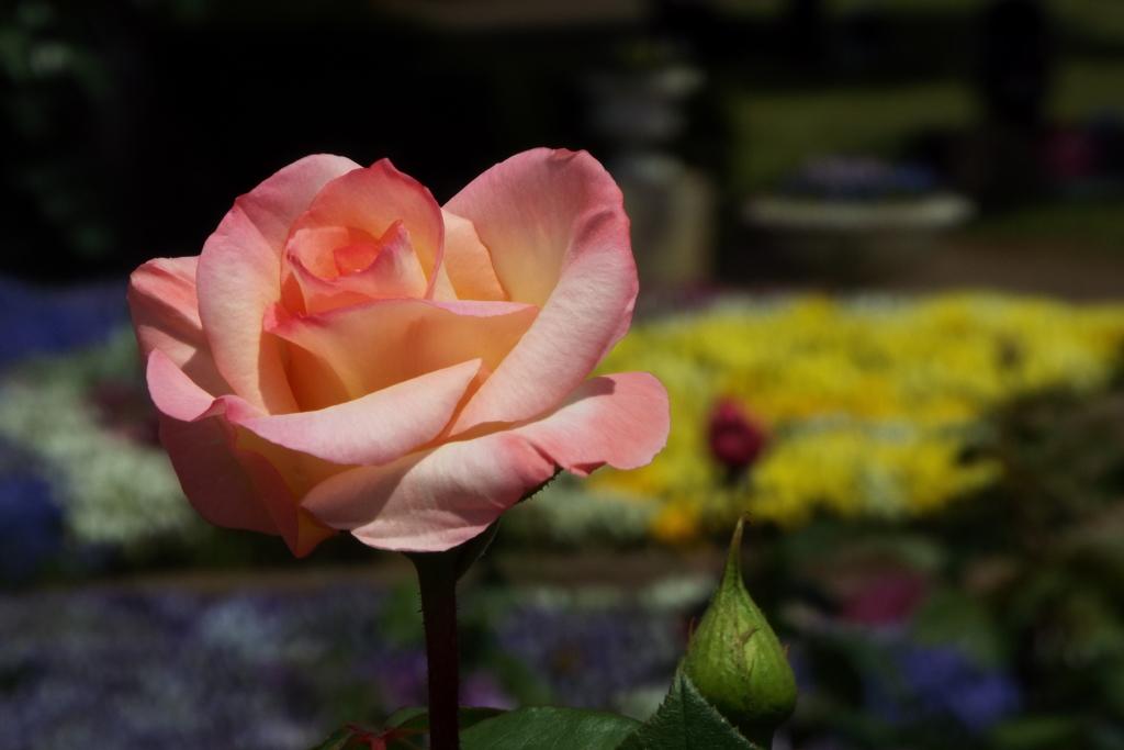 智光山公園・薔薇18