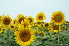 清瀬ヒマワリ畑11