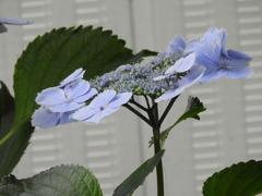 豊島園・紫陽花10