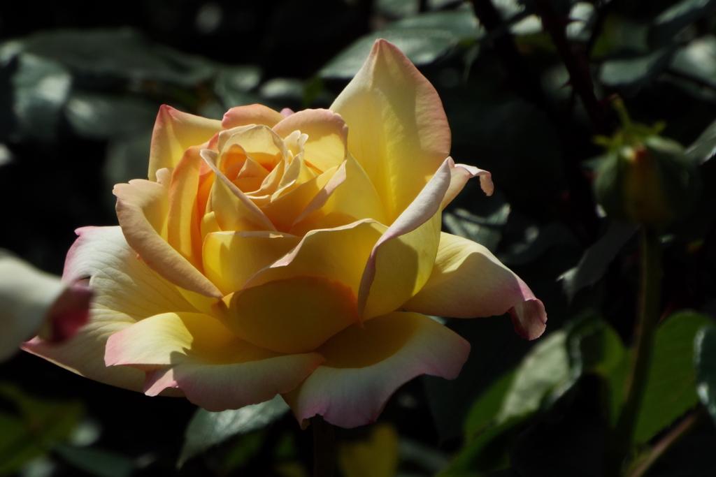智光山公園・薔薇10