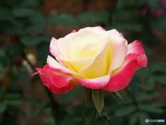 秋薔薇18