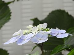 豊島園・紫陽花9