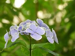 豊島園・額紫陽花20