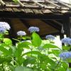 豊島園・紫陽花23