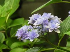 豊島園・額紫陽花6