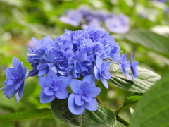 豊島園・額紫陽花18