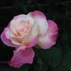 智光山公園・薔薇19