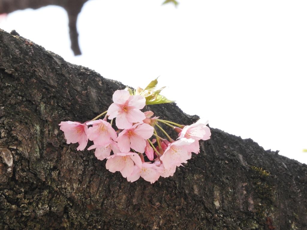 修善寺桜4