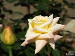 秋薔薇22