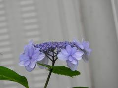 豊島園・紫陽花12