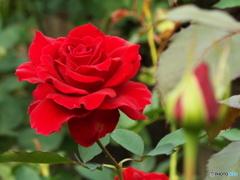 秋薔薇14