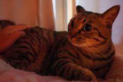 寝る前の撫でられ待ちネコ