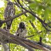 アオバズク 親鳥と雛鳥 2