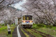 松浦鉄道 桜のトンネル