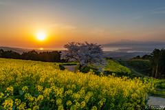 白木峰高原 桜と菜の花 6