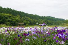 神楽女湖花しょうぶ園 2