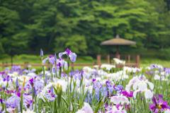 神楽女湖花しょうぶ園 3