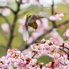 鎮国寺 熱海桜 メジロ 飛翔
