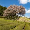 納戸 百年桜 2