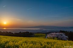 白木峰高原 桜と菜の花 3