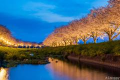 草場川 桜並木 2