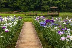 神楽女湖花しょうぶ園 4