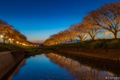 草場川桜並木 夕景 2