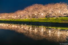 流川 桜並木 2