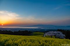 白木峰高原 桜と菜の花 2