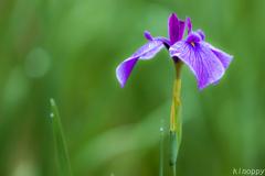 神楽女湖花しょうぶ園 8