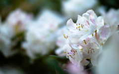 石楠花・3