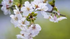 桜・1_3