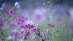 秋桜_10