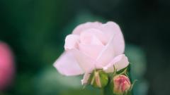 薔薇・1_2