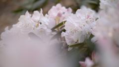 石楠花・2
