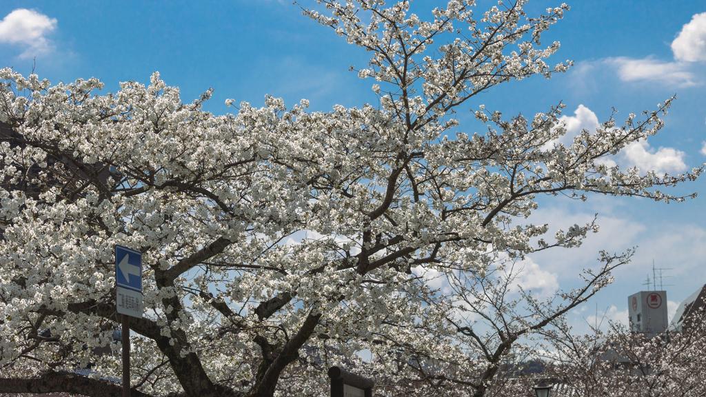 一ノ坂川の桜・9