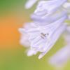 梅雨の花・8
