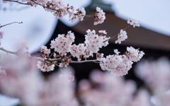 桜・1_1