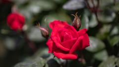 薔薇・3_2