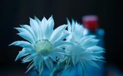 サボテンの花_4