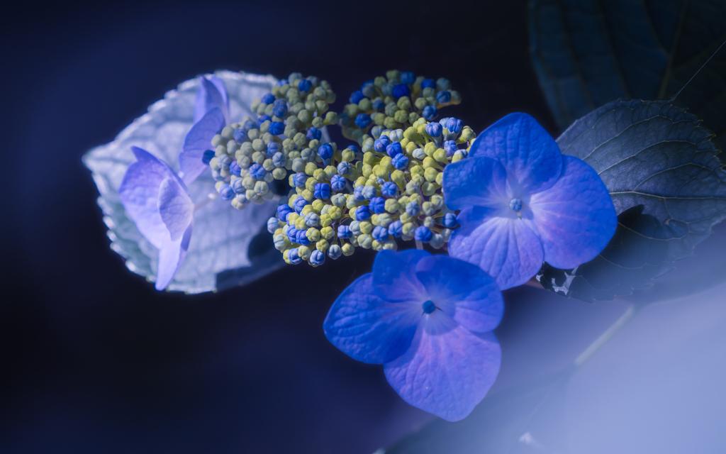 紫陽花・5_3