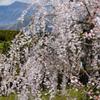 枝垂れ桜・5