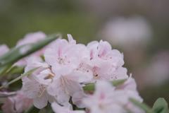 石楠花・19_6